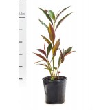 Alpinia Caerulea 'Red Back' 200mm pk1