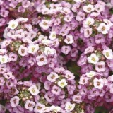 Alyssum Clear Crystal Lavender 125mm pk1