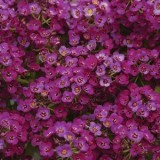 Alyssum Clear Crystal Purple 125mm pk1
