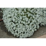 Alyssum Clear Crystal White 125mm pk1