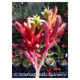 Anigozanthus 'Bush Inferno' 140mm pk1