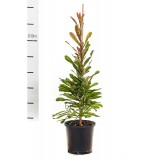Banksia serrata 200mm pk1