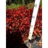 Begonia Scarlet (Bronze Leaf) 125mm pk1