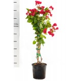 Bougainvillea 'Crimson Jewel' 200mm pk1