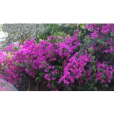 Bougainvillea glabra 300mm pk1