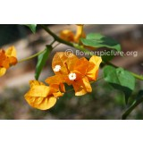 Bougainvillea 'Platinumen Glory' 200mm pk1