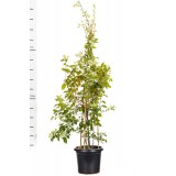 Bougainvillea 'White Cascade' 300mm pk1