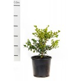 Buxus Microphylla Variable Japonica 200mm pk1