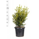 Buxus Microphylla Variable Japonica 300mm pk1
