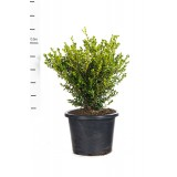 Buxus Microphylla Variable Japonica 400mm pk1