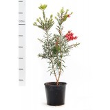 Callistemon 'Captain Cook' 200mm pk1