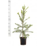 Callistemon 'Dawson River' 200mm pk1