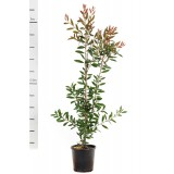 Callistemon 'Endeavour' 200mm pk1