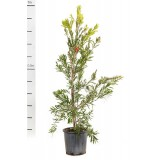 Callistemon 'Hannah Ray' 200mm pk1