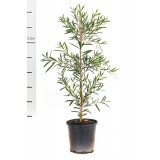 Callistemon 'Kings Park Special' 200mm pk1