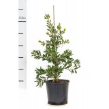 Callistemon 'White Anzac' 200mm pk1