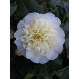 Camellia Japonica 'Brushfields Yellow' 200mm pk1