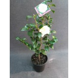 Camellia Japonica 'Brushfields Yellow' 300mm pk1