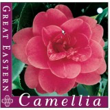 Camellia Japonica 'Great Eastern' 200mm pk1