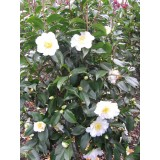 Camellia Japonica 'Silver Waves' 200mm pk1