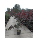 Cercis canadensis 'Forest Pansy' 25L pk1