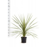 Cordyline Australis 200mm pk1