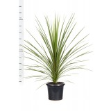 Cordyline Australis 300mm pk1