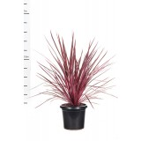 Cordyline Australis 'Electrical Pink' 300mm pk1