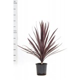 Cordyline Baueri 'Red Sensation' 200mm pk1