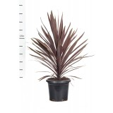 Cordyline Baueri 'Red Sensation' 300mm pk1