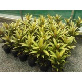Cordyline Fruticosa 'Kiwi' 200mm pk1
