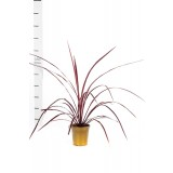 Cordyline 'Red Fountain' 175mm pk1