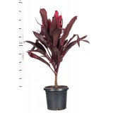 Cordyline Rubra 300mm pk1