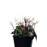 Cyclamen White 140mm pk1