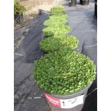 Dichondra repens 140mm pk1