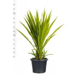 Doryanthes Excelsa 400mm pk1