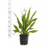 Doryanthes Palmeri 200mm pk1