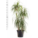 Dracaena Marginata 300mm pk1