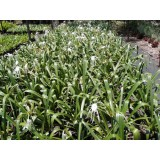 Hymenocallis littoralis 200mm pk1