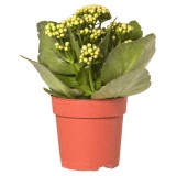 Kalanchoe Behariensis 140mm pk1