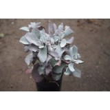 Kalanchoe Pumila 'Quicksilver' 140mm pk1