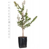 Lagerstroemia Indian Summer 'Sioux' 25L pk1