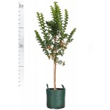 Lagerstroemia Indian Summer 'Sioux' 75L pk1