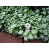 Lamium maculatum 'White Nancy' 140mm pk1