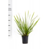 Lomandra hystrix 'Tropic Belle' 140mm pk1