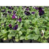 Pansy Neon Violet 125mm pk1