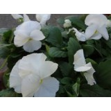 Pansy Pure White 125mm pk1