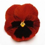 Pansy Red with Blotch 125mm pk1