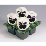 Pansy White with Blotch 125mm pk1