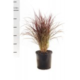 Pennisetum advena 'Rubrum' 200mm pk1